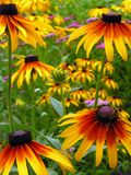 Rudbeckia Hirta Royalty Free Stock Photography