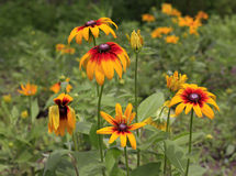 The Rudbeckia Hirta. In the afternoon,its a little spirit is not up Stock Images