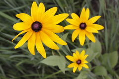 The Rudbeckia Hirta. In the afternoon,its a little spirit is not up Stock Photo