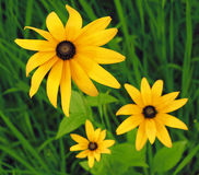 The Rudbeckia Hirta. In the afternoon,its a little spirit is not up Royalty Free Stock Photo