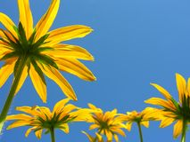 Rudbeckia Hirta or Black-Eyed Susan Stock Photo
