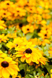 Rudbeckia Hirta, Black Eyed Susan Royalty Free Stock Images