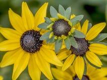 Rudbeckia hirta, black-eyed-susan Royalty Free Stock Photos