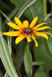 Rudbeckia hirta, Black-Eyed Susan flower. In the garden Stock Photos