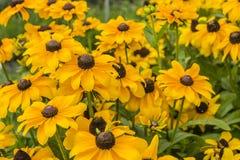 Rudbeckia hirta ( black-eyed-Susan) - flowers. Royalty Free Stock Images