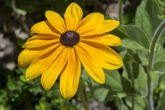 Rudbeckia Hirta Black-eyed Susan or Gloriosa Daisy. Rudbeckia Hirta, also known as black-eyed or brown-eyed Susan, brown betty, gloriosa daisy, golden Jerusalem Royalty Free Stock Image
