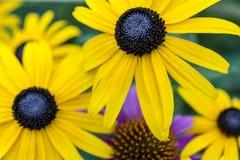 Rudbeckia hirta, black-eyed Susan Stock Image