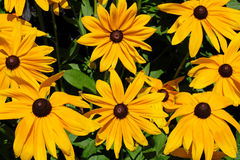 Rudbeckia hirta, commonly called Black Eyed Susan, Mainau Island, Germany royalty free stock images