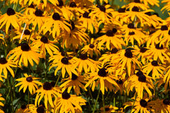 Rudbeckia hirta (Coneflower). A field of blossoming coneflowers (Rudbeckia hirta stock images