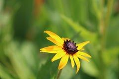 Rudbeckia hirta, einsame gelbe Blume stockfotografie