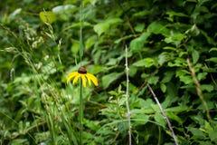 Rudbeckia hirta einzelner Blume Abschluss oben Lizenzfreie Stockbilder