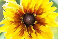 Rudbeckia hirta flower close up Royalty Free Stock Photos