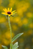 Rudbeckia hirta flower and plant Stock Photo