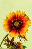 Rudbeckia hirta. Hand picked flower from the meadow by the road Stock Image