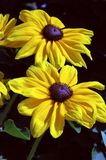 Rudbeckia hirta Indian Summer Royalty Free Stock Image