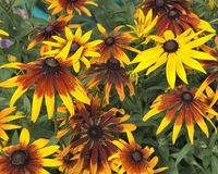 Rudbeckia Hirta Royalty Free Stock Photos