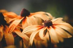 Rudbeckia hirta orange yellow flowers on neutral background Stock Photos