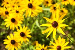Rudbeckia hirta Royalty Free Stock Photo