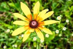 Rudbeckia Hirta, también conocido como Susan negro-observada o de ojos marrones, b imagen de archivo