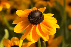 Rudbeckia Hirta 'Toto'. Commonly known as Black Eyed Susan is a popular summer flowering garden plant Stock Image