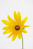 Rudbeckia hirta Royalty Free Stock Images