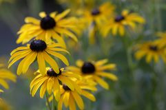 Rudbeckia hirta yellow flower with black brown centre in bloom, black eyed susan in the garden. Bunch of flowering ornamental plants royalty free stock images