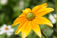 Rudbeckia hirta , yellow summertime flower Royalty Free Stock Image