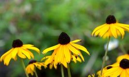 Rudbeckia igualmente conhecido como a Susan de olhos pretos fotografia de stock