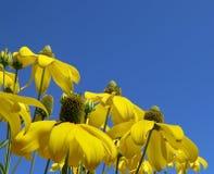 Rudbeckia jaune Image libre de droits