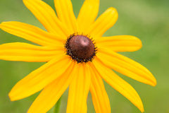 Rudbeckia jaune de fleur Photo libre de droits