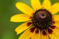 Rudbeckia jaune ou wildflower de susan observé par noir images stock
