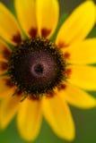 Rudbeckia jaune ou wildflower de susan observé par noir photo libre de droits
