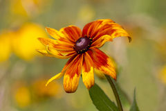 Rudbeckia kwiat Obrazy Royalty Free