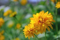 Rudbeckia Laciniata bloeit Gouden Gloed Coneflower stock fotografie