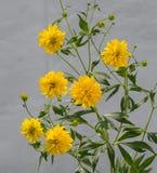 Rudbeckia laciniata Goldquelle Royalty Free Stock Images
