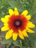 Rudbeckia laciniata L. Stock Photography