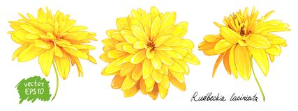 Rudbeckia Laciniata yellow flower. Set of three flowers of Rudbeckia Laciniata, also called Golden Ball isolated on a white background. Hand drawn sketch Stock Image