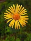 Rudbeckia no jardim Fotografia de Stock