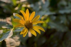 Rudbeckia Ogrodowy pomarańczowy kwiat Okwitnięcie w lecie Zdjęcie Stock