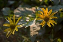 Rudbeckia Ogrodowy pomarańczowy kwiat Okwitnięcie w lecie Zdjęcie Royalty Free