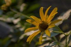 Rudbeckia Ogrodowy pomarańczowy kwiat Okwitnięcie w lecie Fotografia Royalty Free