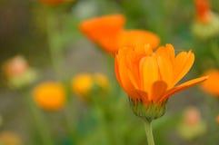 Rudbeckia. Orange rudbeckia flower in the garden Stock Photo