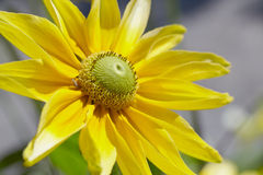 Rudbeckia prairie Royalty Free Stock Images