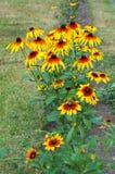Rudbeckia. Rudbeckia hirta. African flower Black-eyed Susan. German flower name Leuchtender Sonnenhut Stock Photo