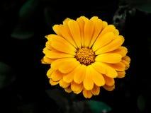 Rudbeckia shiny, chamomile, flower Stock Photo