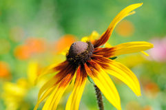 Rudbeckia on soft green background Stock Photos