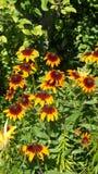 Rudbeckia - sol- blomma royaltyfri fotografi