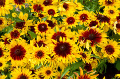 Rudbeckia. Royalty Free Stock Image