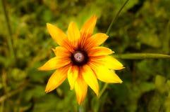 Rudbeckia speciosa lub żółty kwiat jako natury tła widok f zdjęcia stock