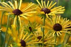 Rudbeckia subtomentosa. In the summer garden Stock Images